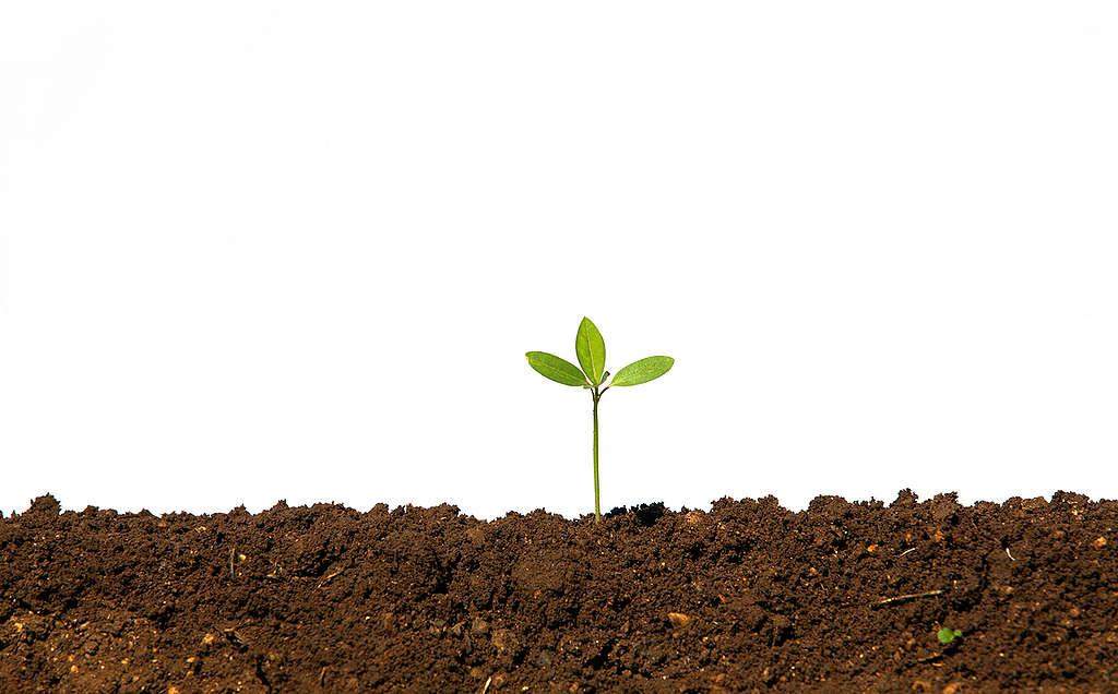 Seedling in an Organic Field in India. © Greenpeace / Vivek M.