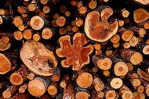 Logged Pine Trees. © Matti Snellman / Greenpeace