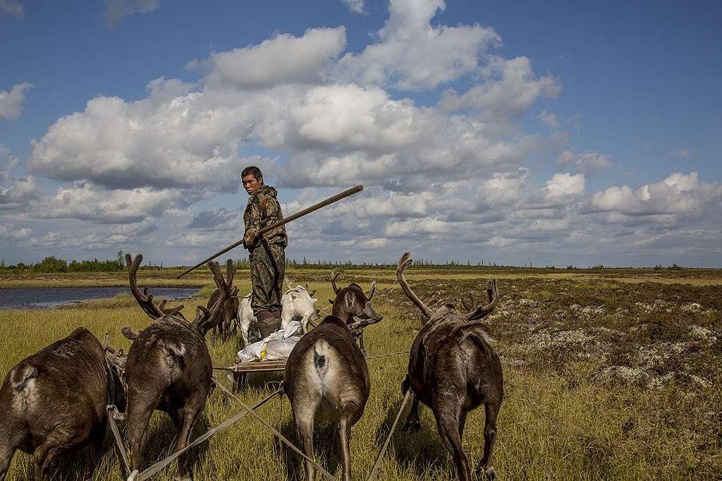 Working with reindeer © Petr Shelomvskiy / Greenpeace