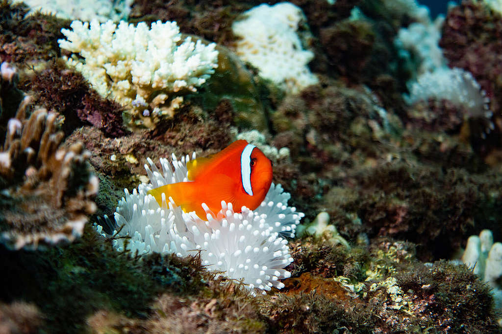 Coral Bleaching Investigation in South Taiwan. © Yves Chiu / Greenpeace