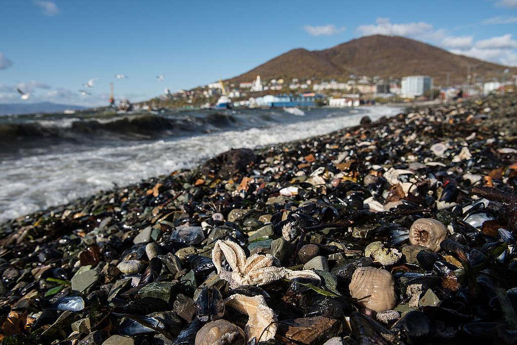 Investigation in Kamchatka: Dead Animals on the Beaches. © Dmitry Sharomov / Greenpeace