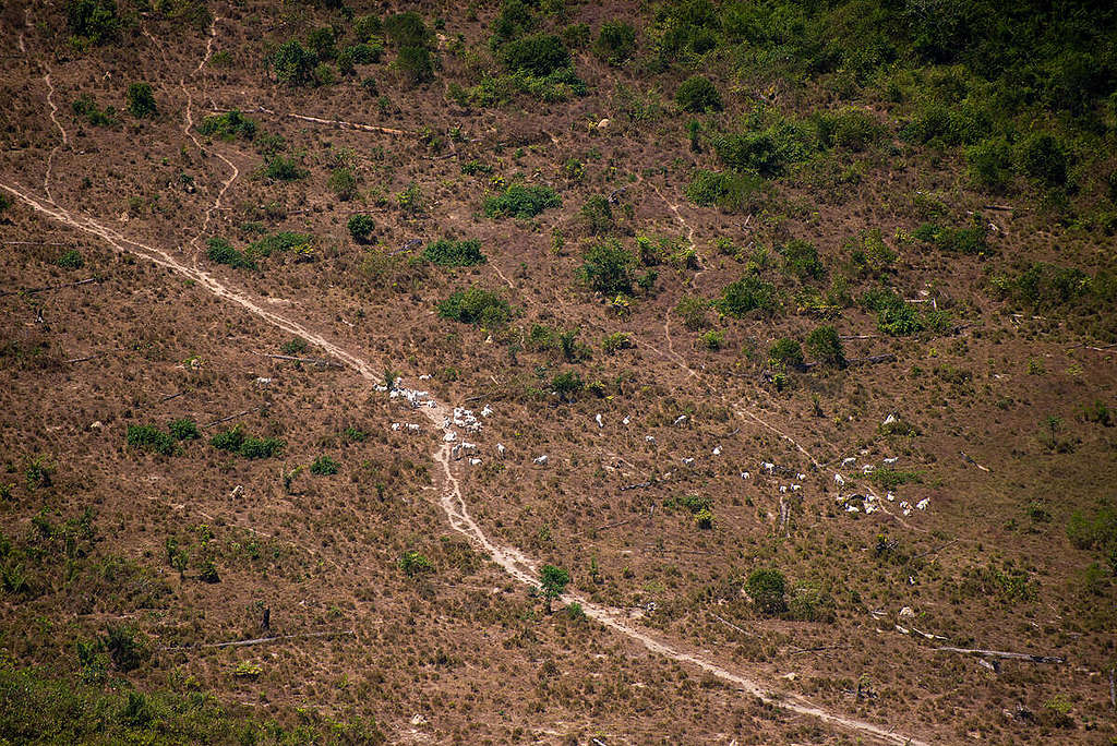 Cattle found on deforested land © Christian Braga / Greenpeace