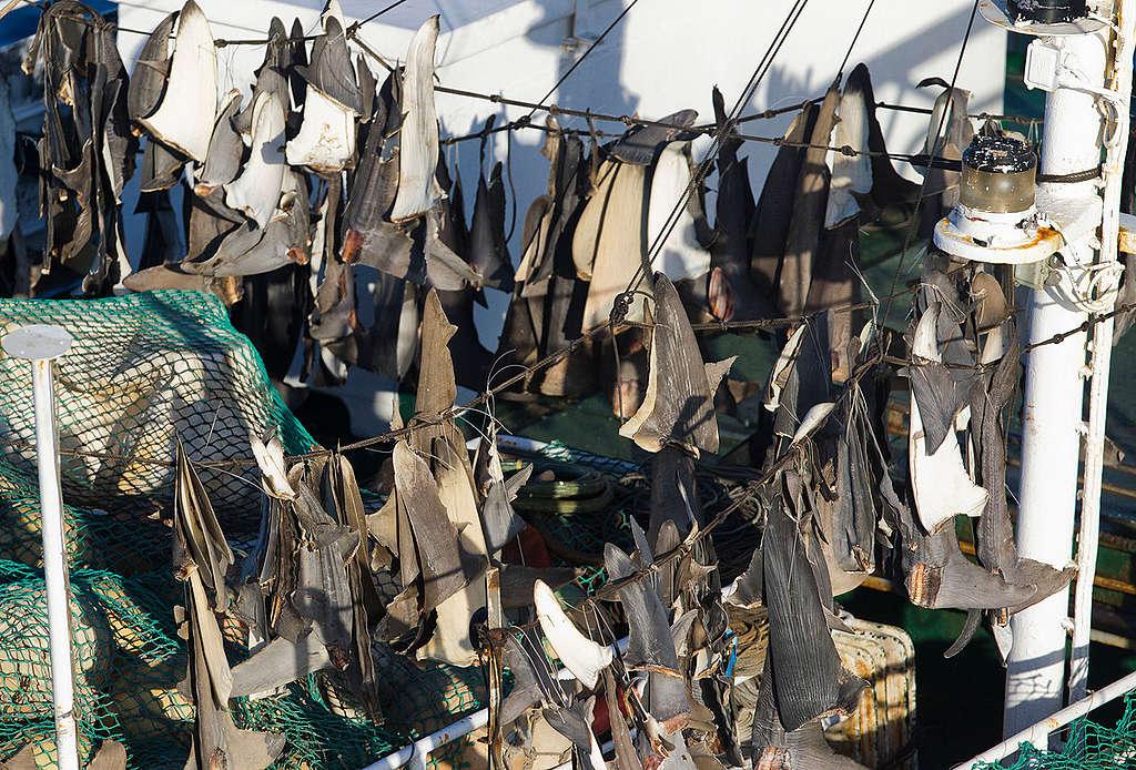 Shark Fins on Japanese Longliner. © Paul Hilton / Greenpeace