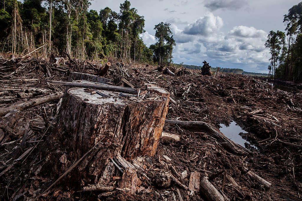 Pulpwood Concession PT AHL in Kalimantan. © Ulet  Ifansasti / Greenpeace