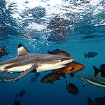 Black Tip Reef Sharks in Raja Ampat, Papua, Indonesia. © Paul Hilton / Greenpeace