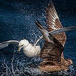Great Skua and Fulmar in the North Sea. © Marten van Dijl / Greenpeace