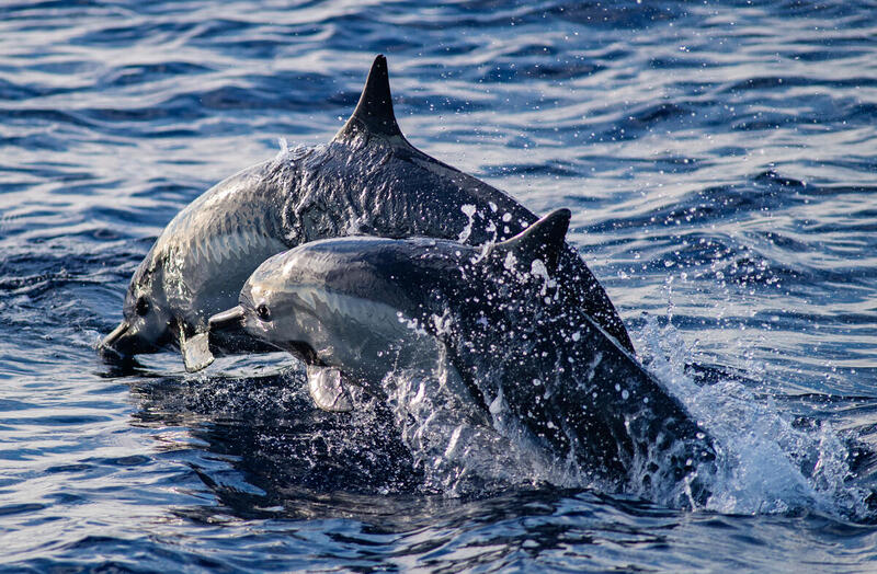 Spinner Dolphins in the Pacific