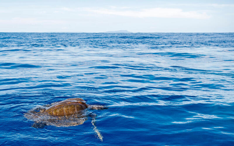Olive Ridley Sea Turtle in the Pacific
