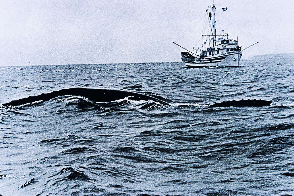 Grey Whales in North Pacific. © Greenpeace / Rex Weyler