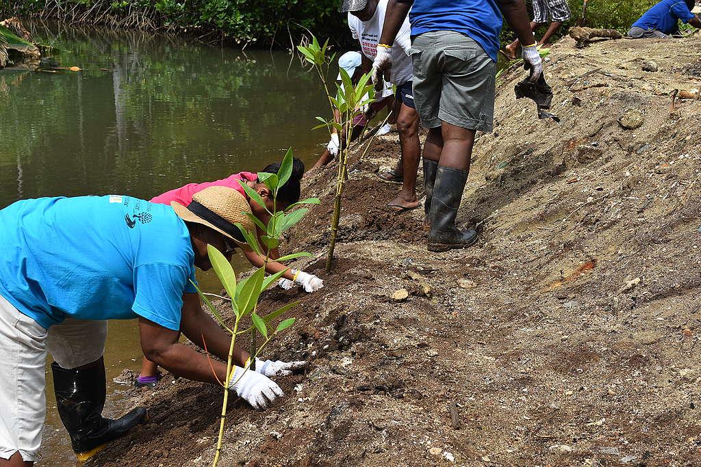 Mangrove restoration in progress © EBA project Seychelles