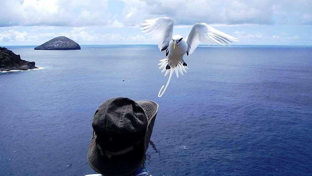 White tailed tropicbird and Aurelie lock eyes ©Aurelie Hector