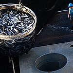 Fishing Operations onboard the Albatun Tres. © Paul Hilton / Greenpeace