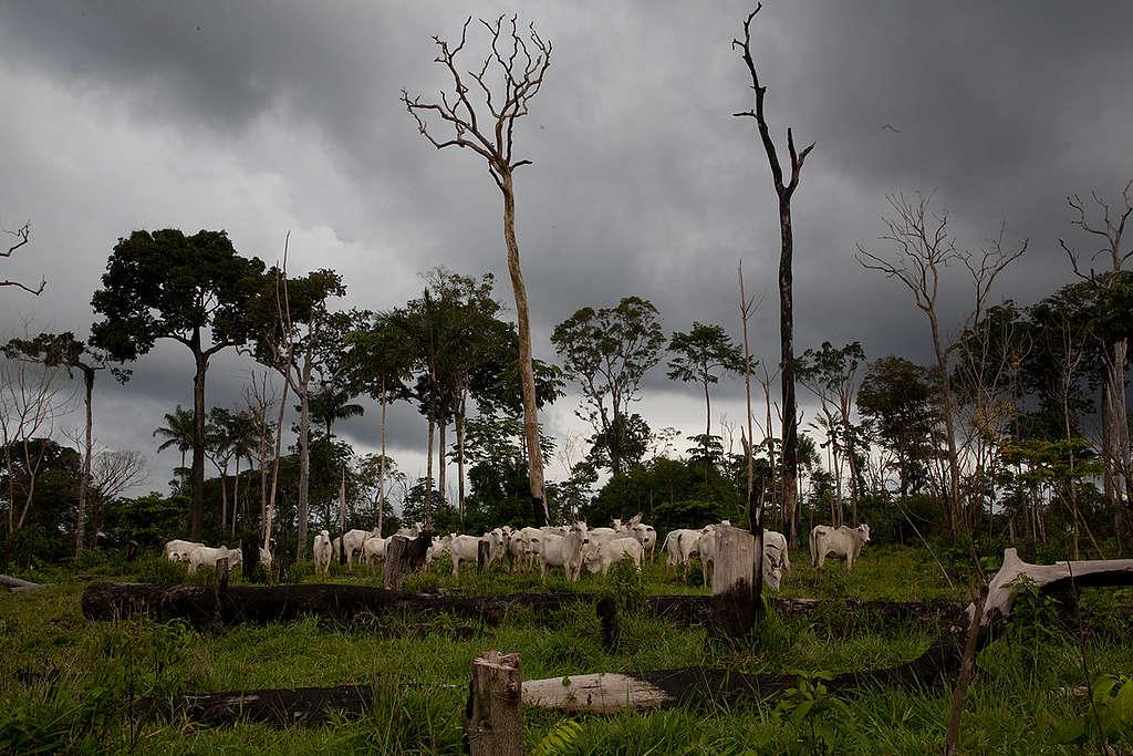Cattle Ranching in Brazil. © Ricardo Funari / Lineair / Greenpeace
