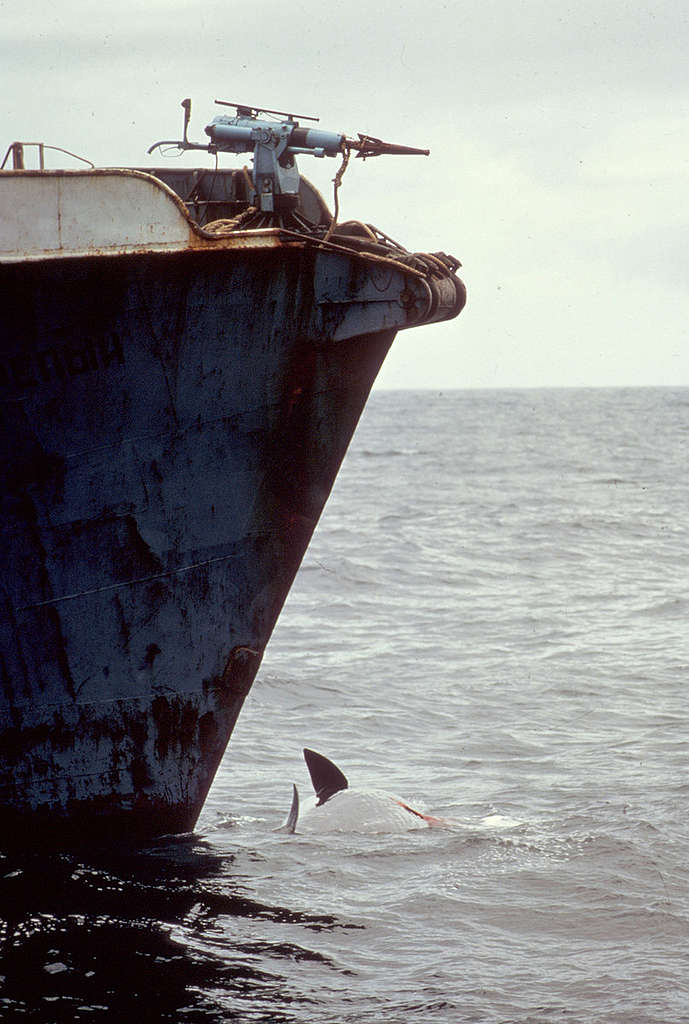A sperm whale lies dying under the bow of a Russian harpoon ship, 1975. © Greenpeace / Rex Weyler