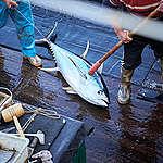 Dead Tuna on Longline Fishing Vessel in the Pacific Ocean. © Mark Smith / Greenpeace