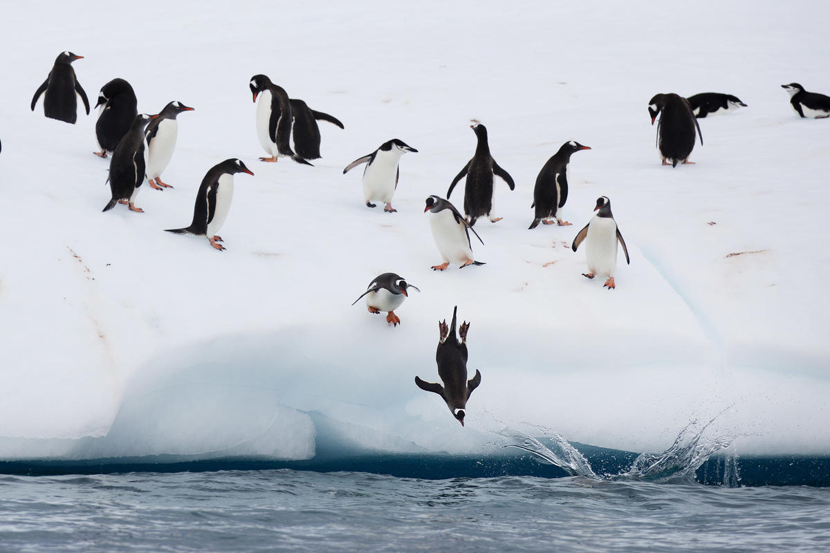 Chinstrap and Gentoo penguins fish on an iceberg off Half Moon Island. © Abbie Trayler-Smith / Greenpeace