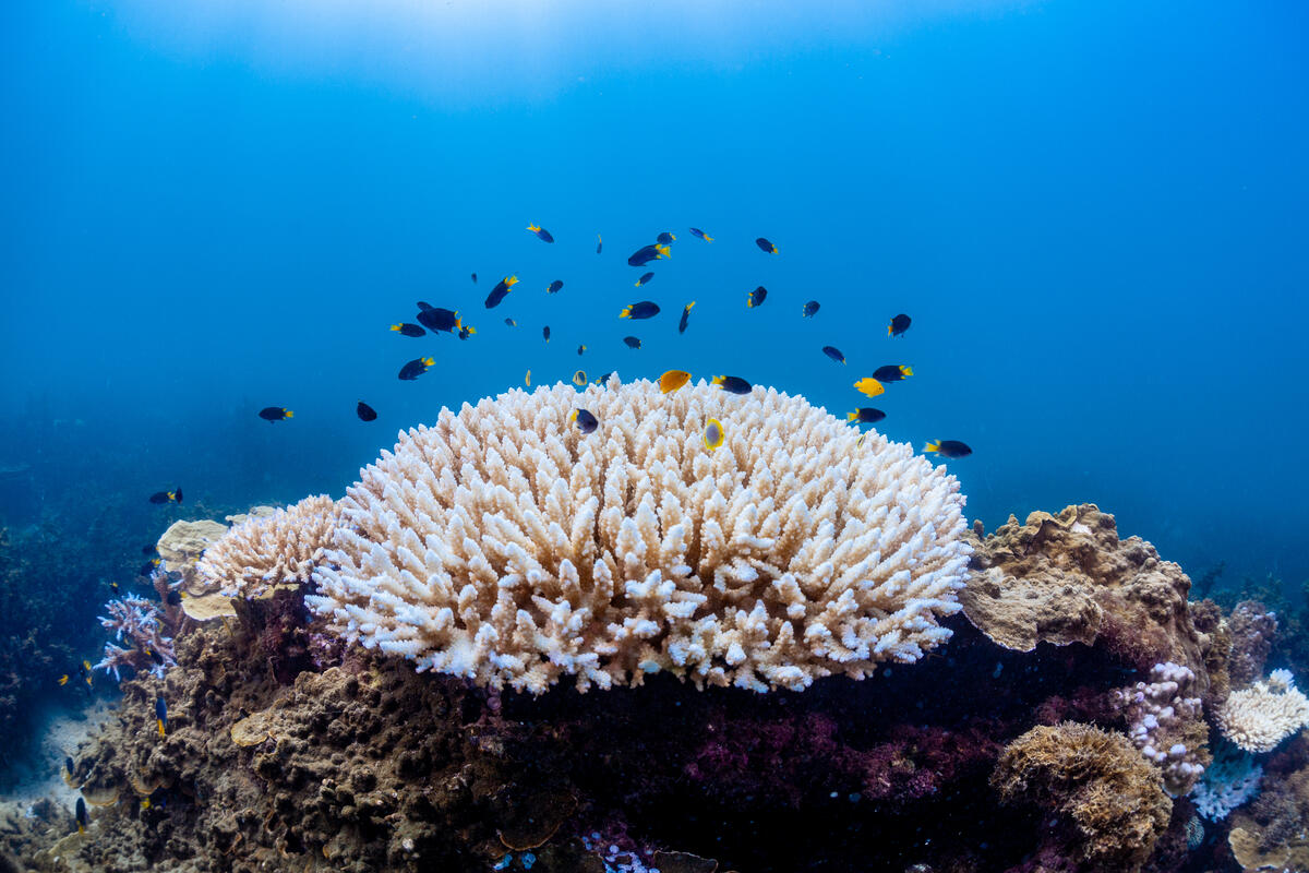 Coral bleaching in the Great Barrier Reef. © Victor Huertas / Greenpeace