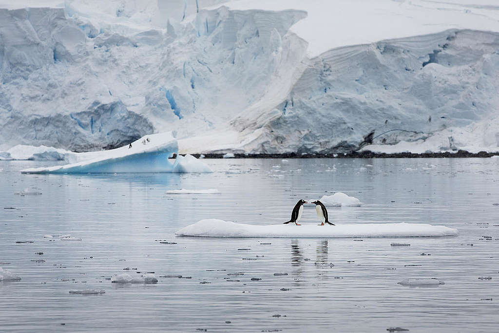 Gentoo Penguins In Paradise Harbour © Abbie Trayler-Smith / Greenpeace