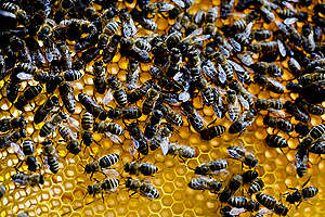 Bees on a Honeycomb in the Netherlands. © Pieter Boer