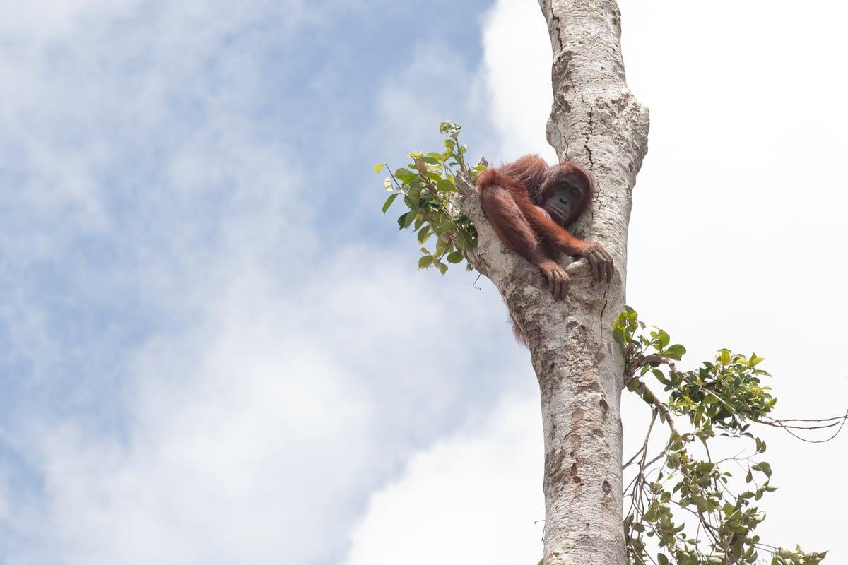 Orangutan in Lone Tree in West Kalimantan. © Alejo Sabugo