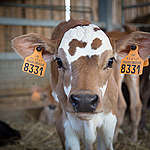 Calves in an Ecological Farm in France. © Elsa Palito