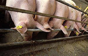 GE Pigs Documentation in Germany. © Axel Kirchhof