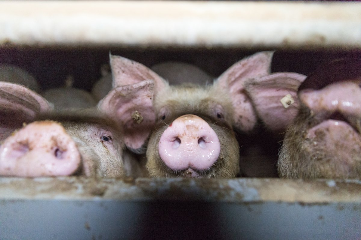 Pig Stall in Germany. © Anonymous
