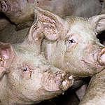 Il TAR ci dà ragione sull'allevamento intensivo di maiali di Schivenoglia