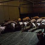 Pigs in Factory Farming in Germany. © Greenpeace