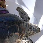 Liberata una tartaruga vittima della plastica, ma c'è un mondo sommerso da salvare!
