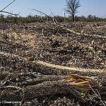 Greenpeace: Italia tra i maggiori importatori di pellet che distrugge le foreste, l'Europa smetta di considerarlo energia rinnovabile