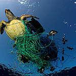 Perché le tartarughe mangiano la plastica?
