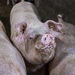 Fondi pubblici in pasto ai maiali