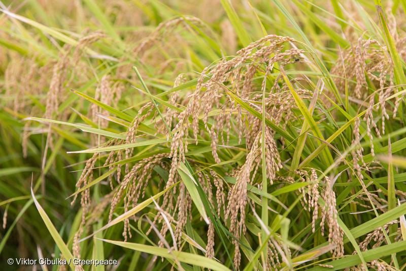 千葉県農家小川さんのオーガニックな田んぼの稲刈り2017年9月27日千葉県で化学農薬や合成肥料を使わずに栽培される田んぼの稲刈り。農家の小川さんは、虫やカエルなどの生きものが暮らせる田んぼを、という想いで農薬を使わないお米作りを行なっている。たわわに実り、収穫期を迎えた黄金の稲。A Yearly Harvest at Ecological Rice Farm in Japan27 September 2017A yearly harvest at ecological rice field in Chiba, Japan. No chemical pesticides or fertilizers are used in the field. The rice farmer Mr. Ogawa wishes to make rice fields harmonized with wildlife. A rice ready to be harvested.© Viktor Cibulka / Greenpeace