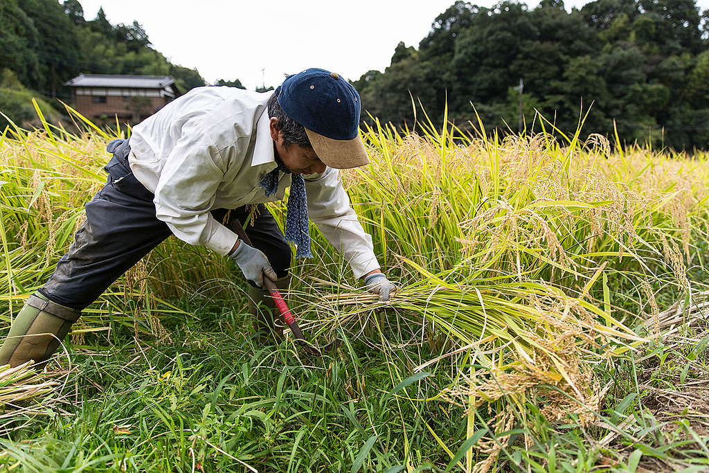 Yearly Harvest at Ecological Rice Farm in Japan. © Viktor Cibulka / Greenpeace