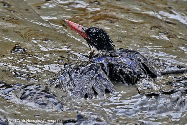 유네스코 세계 문화유산 보호지역인 방글라데시 순다르반스에서 발생한 기름 유출로 온몸이 오일 진흙에 갇힌 새