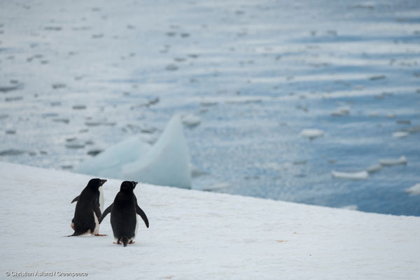 남극의 아델리 펭귄