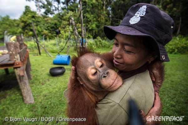 사육사가 중앙 칼리만탄 니아루 멘텡(Nyaru Menteng) 보르네오 오랑우탄 생존 재단(Borneo Orangutan Survival Foundation)에 살고 있는 오랑우탄을 안고 있다