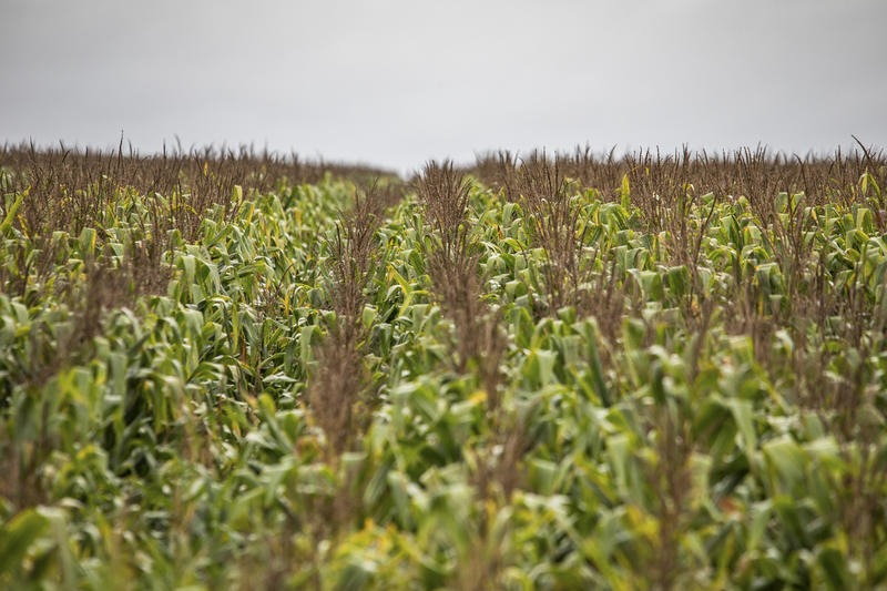 브라질의 옥수수 밭
