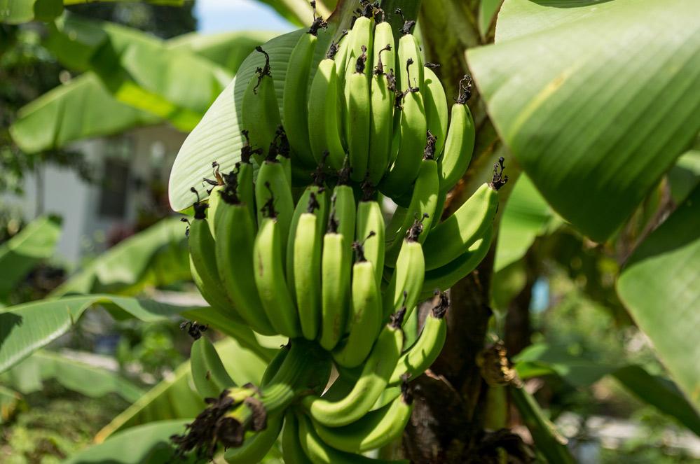 Plantage de bananes aux Philippines.