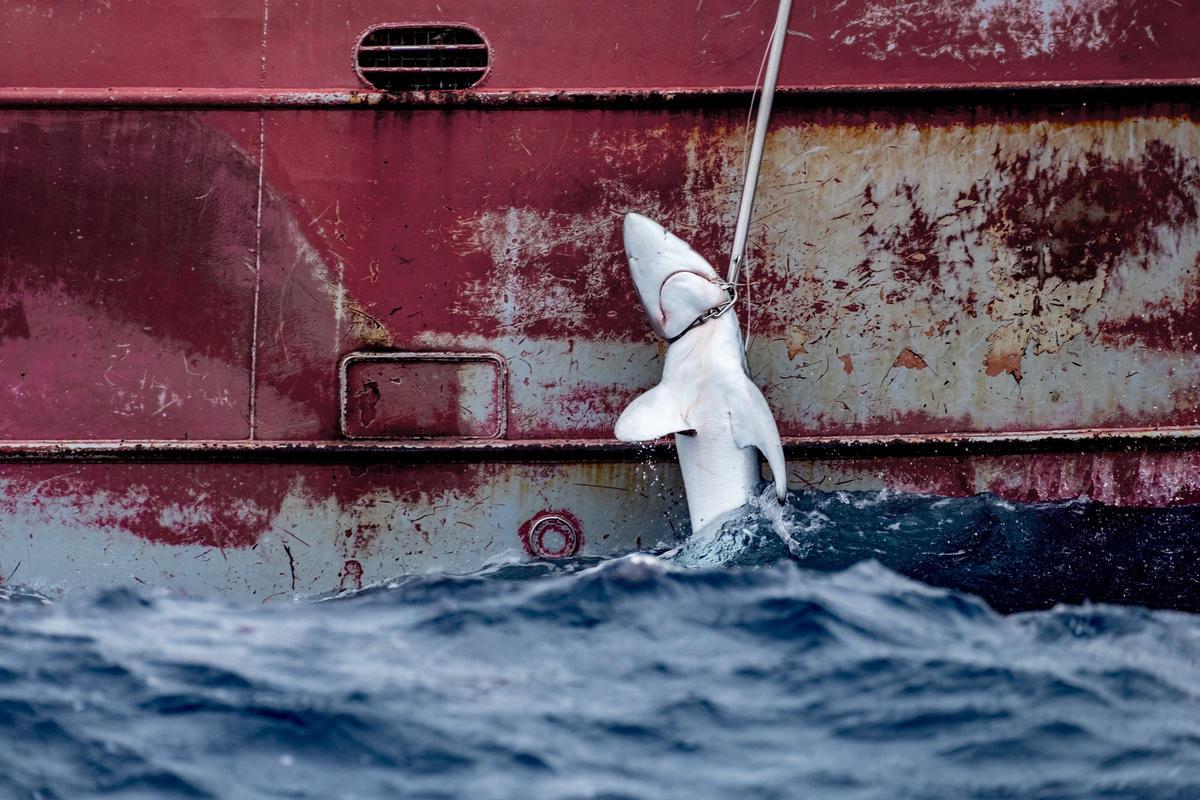 Spanish Longliner Nuevo Zumaya in the Atlantic Ocean. © Tommy Trenchard / Greenpeace