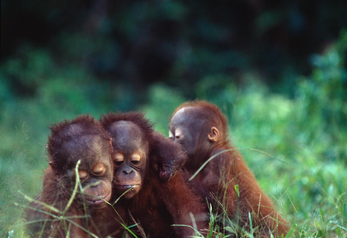 Young Orangutans, Borneo, Malaysia. © Greenpeace / Takeshi Mizukoshi