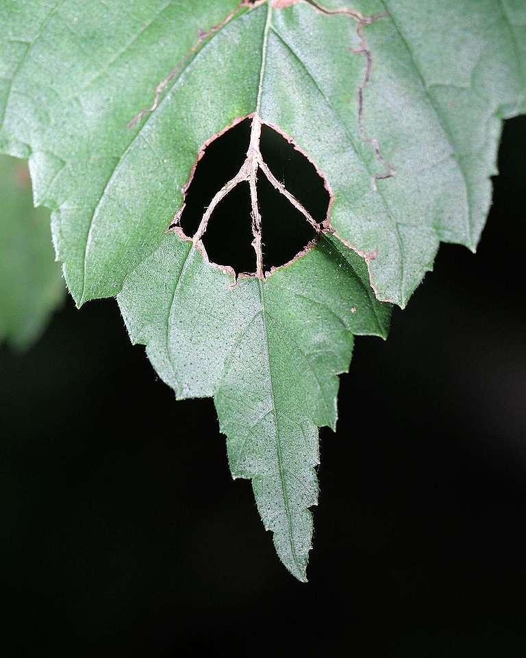 Natural Leaf Peace Sign. © Doris Potter