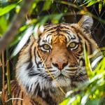 ما لا تعرفونه عن النمور!