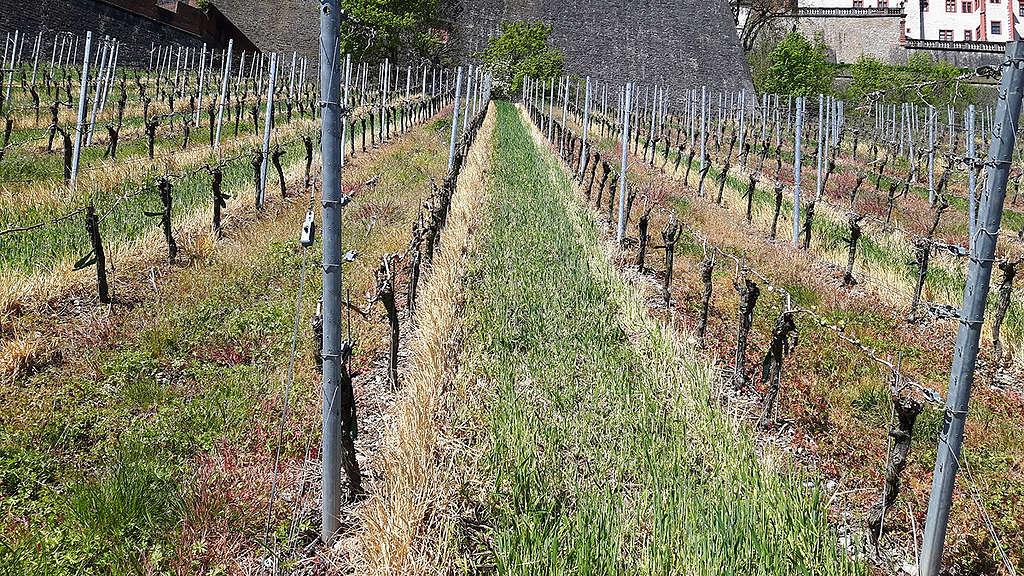 El glifosato se usa ampliamente en cultivos, como en este campo de vid en Alemania,  tratado con el herbicida. © Greenpeace.