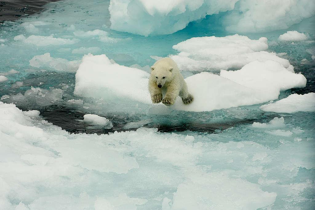 Oso polar e el hielo Ártico © Larissa Beumer / Greenpeace