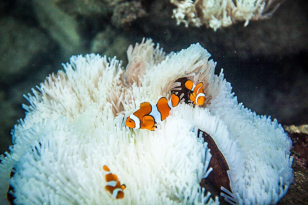 Blanqueamiento de la gran barrera de coral. © Abram Powell / Greenpeace