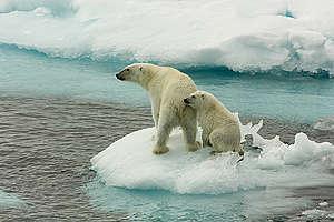 Polar Bears on Sea Ice. © Larissa Beumer / Greenpeace