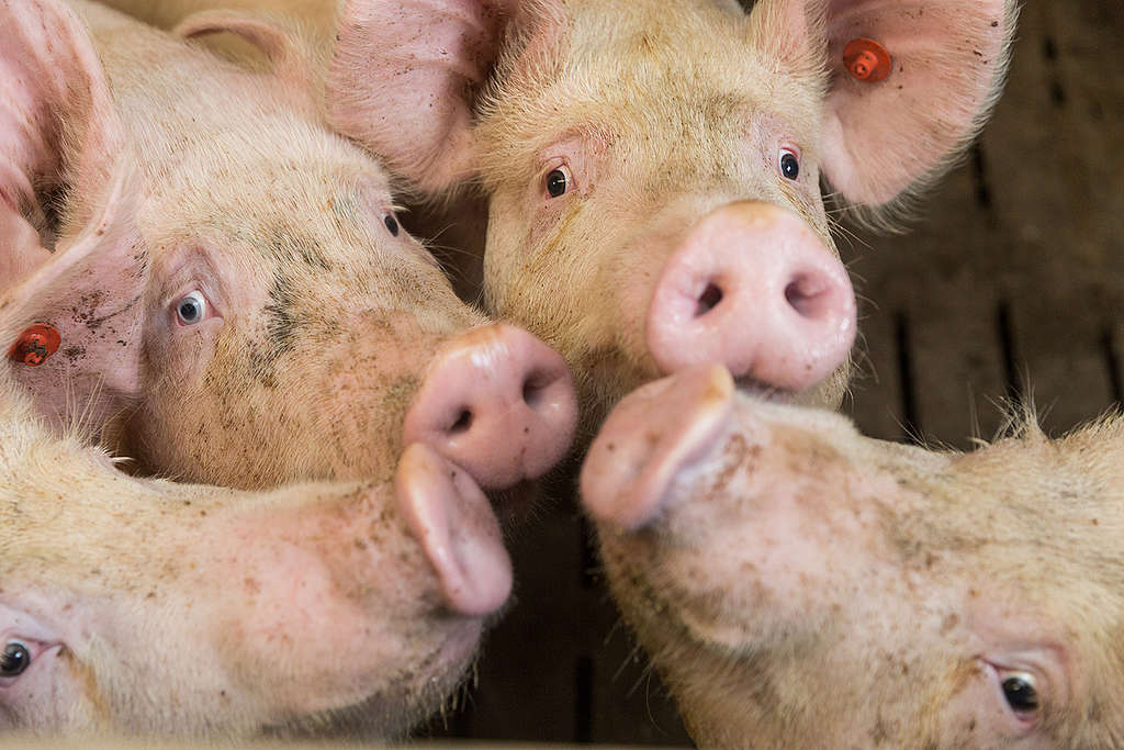 Pig Stall in Northern Germany. © Fred Dott / Greenpeace