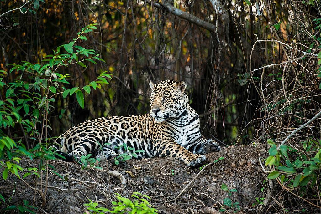 El jaguar ha visto amenazado su hogar debido a la deforestación